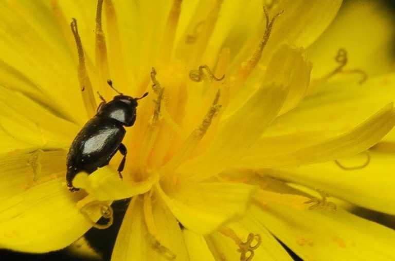 Коли і як потрібно рятувати озимий ріпак від квіткоїда