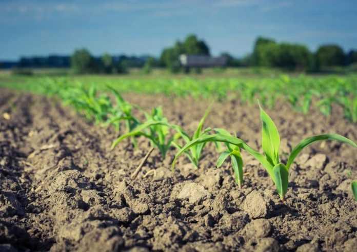 Контроль комплексу бур'янів у поcівах кукурудзи