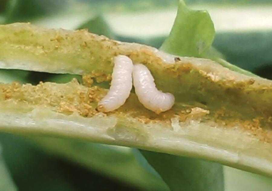 Личинка великого ріпакового прихованохоботника живе і живиться у стеблі ріпаку, що спричиняє деформацію стебел