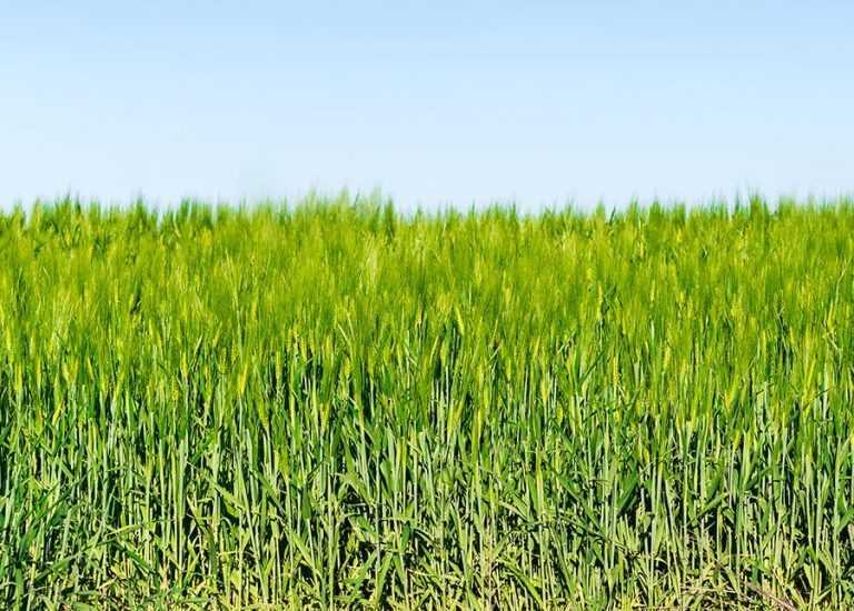 Маєш плани на врожай – фунгіциди поважай