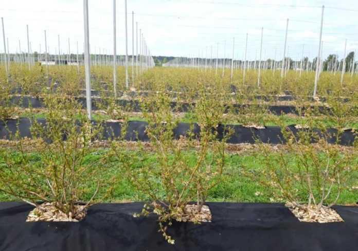 Науковці розробляють технології з вирощування лохини у різних регіонах України