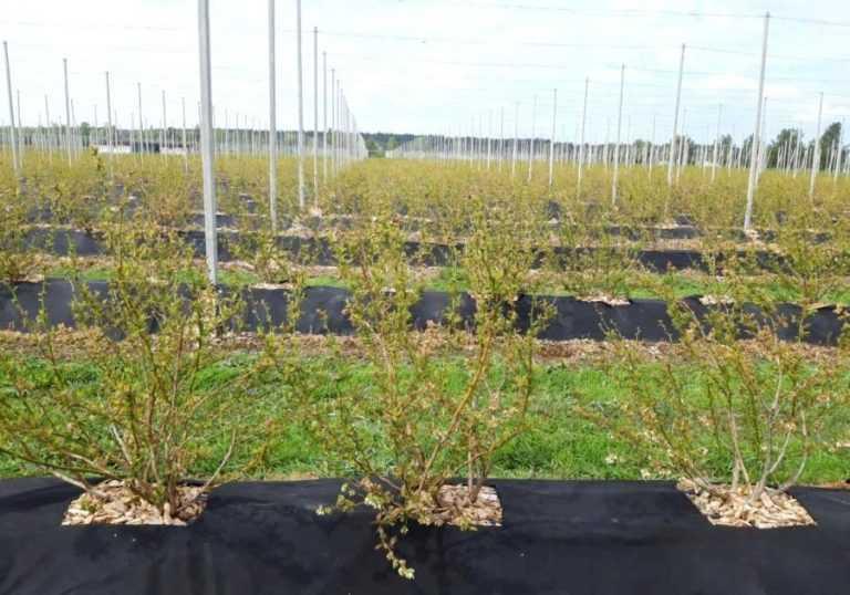 Науковці розробляють технології вирощування лохини у різних регіонах України