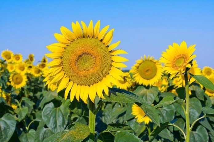 Негативні чинники при вирощуванні соняшнику