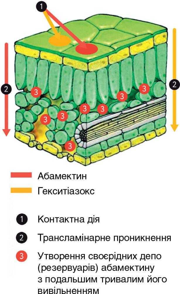 Поширення та накопичення активних компонентів акарициду Сінтак після нанесення на рослину