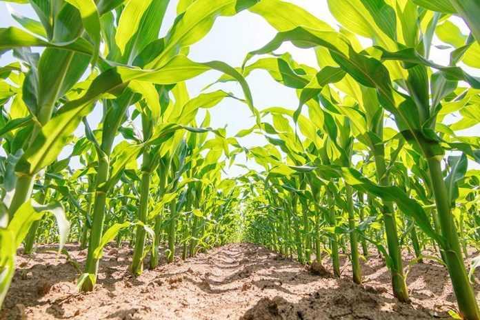 Реалізація генетичного потенціалу сучасних гібридів кукурудзи за несприятливих погодніх умов