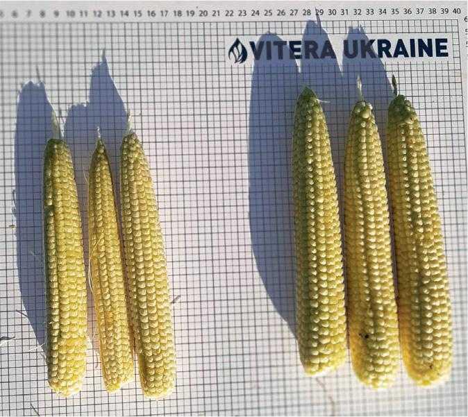 Реалізація генетичного потенціалу сучасних гібридів кукурудзи за несприятливих погодніх умов-2