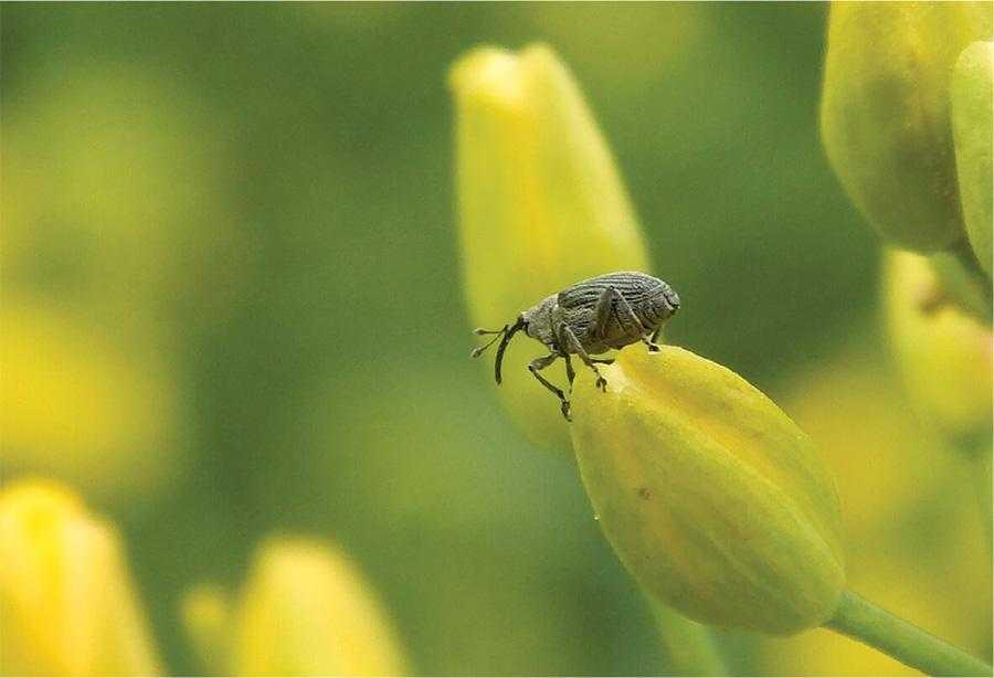 Ріпаковий насіннєвий прихованохоботник, проробляючи отвори в стручках, відкриває шляхи доступу для капустяного комарика