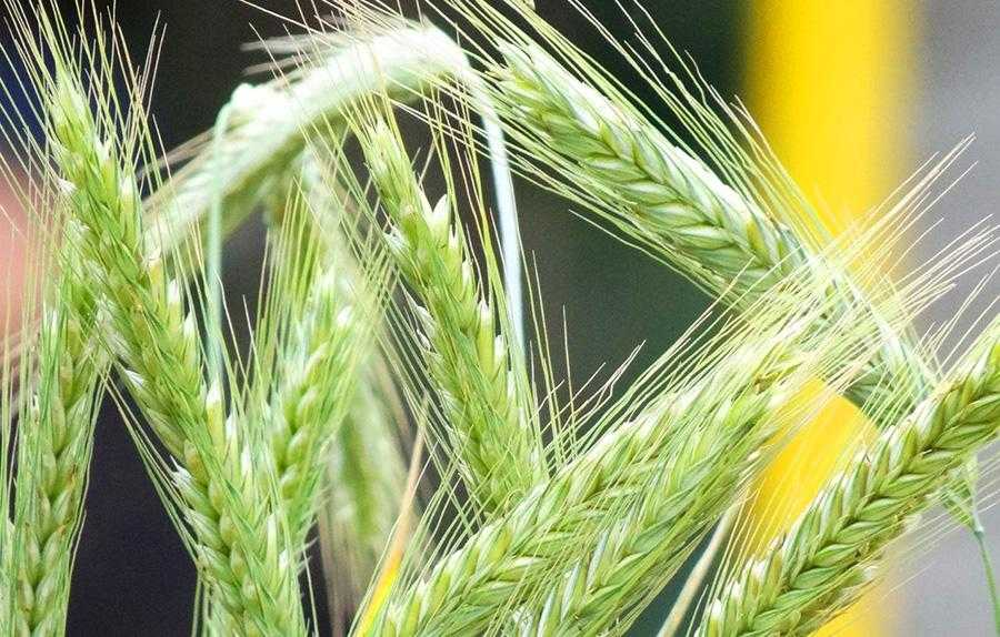 Рис.1. Гібридне жито– найбільш високоврожайна зернова культура