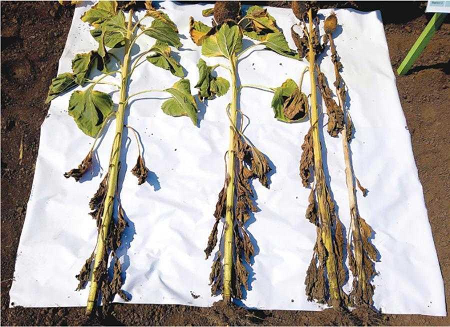 Рис. 2. Зразки рослин із варіантів двократної обробки фунгіцидами в фазу 12 листків та в середину цвітіння: зліва – рослина, оброблена Фокс®, 0,6 л/ га та Пропульс®, 1,0 л/ га; рослина посередині – Дерозал, 0,5 л/га та Фокс®, 0,6 л/ га; справа дві рослини – не оброблена ділянка. АгроАрена компанії «Байєр», Тернопільська обл., 2019 р.