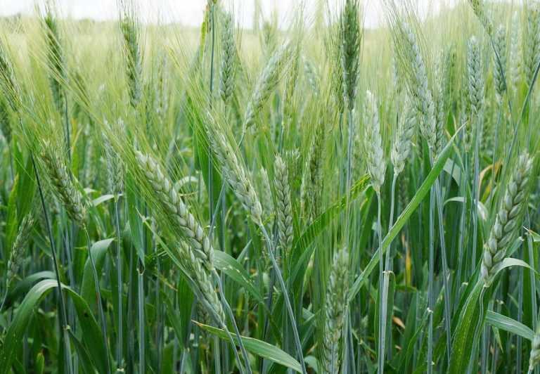 Цього року прогнозують рекордні врожаї озимих ячменю і пшениці