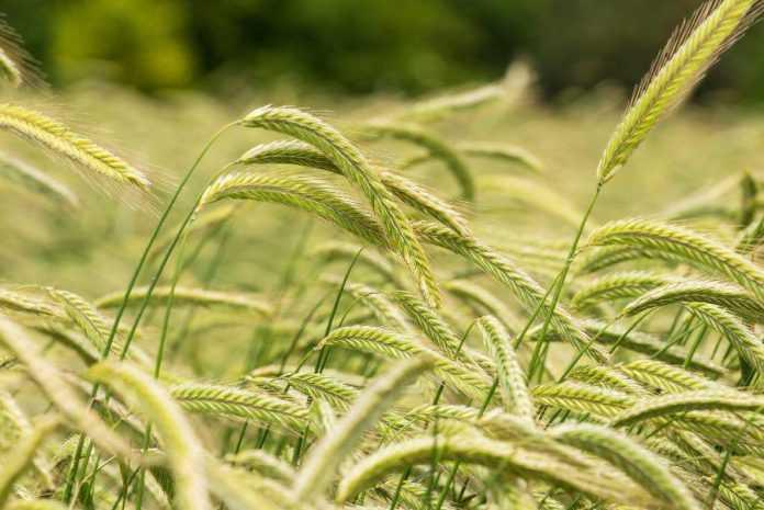 Технологічні особливості та напрями вирощування жита