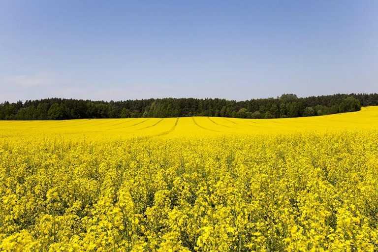 Врожай під контролем: хвороби озимого ріпаку