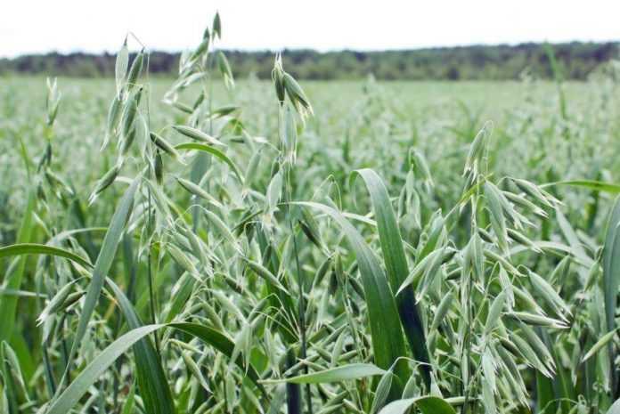 Вирощування вівса дає прибуток на рівні з соняшником та кукурудзою