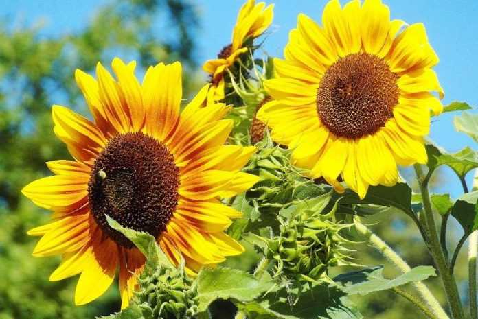 Як елементи живлення впливають на якість олії соняшника