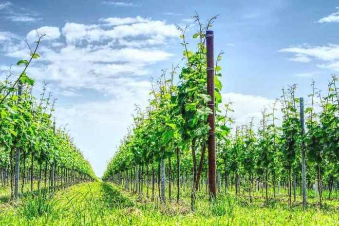 Захист винограду