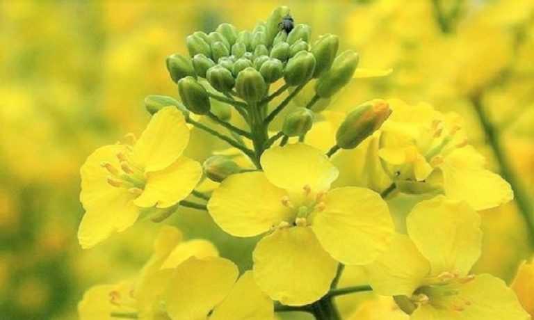 Інсектицидний захист посівів ріпака озимого та садів під час цвітіння