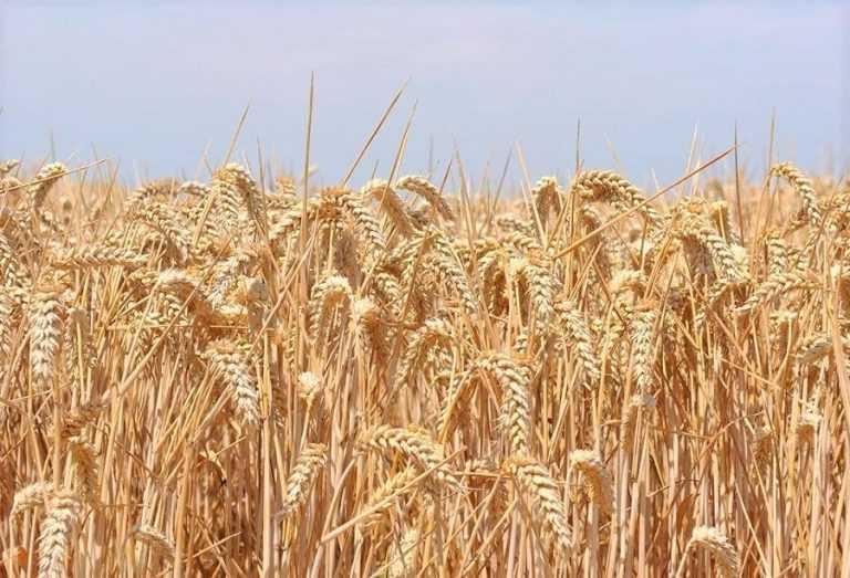 Цьогоріч експерти прогнозують валовий збір зерна 70,7 млн тонн