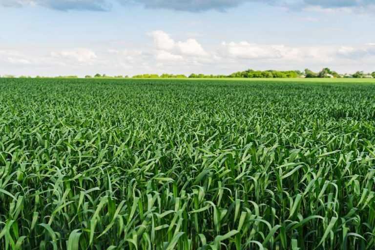 Захист прапорцевого і підпрапорцевого листків озимих зернових культур