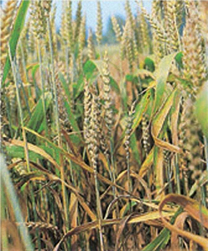 Більш короткі рослини пшениці, уражені карликовою сажкою