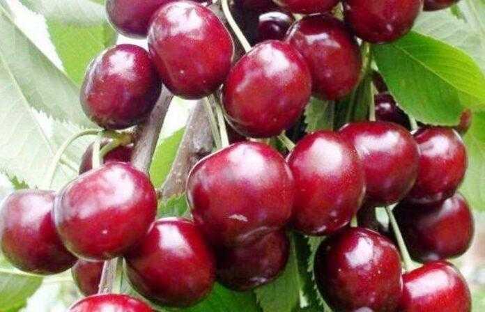 Через погодні умови в Україні зібрали найгірший урожай черешні