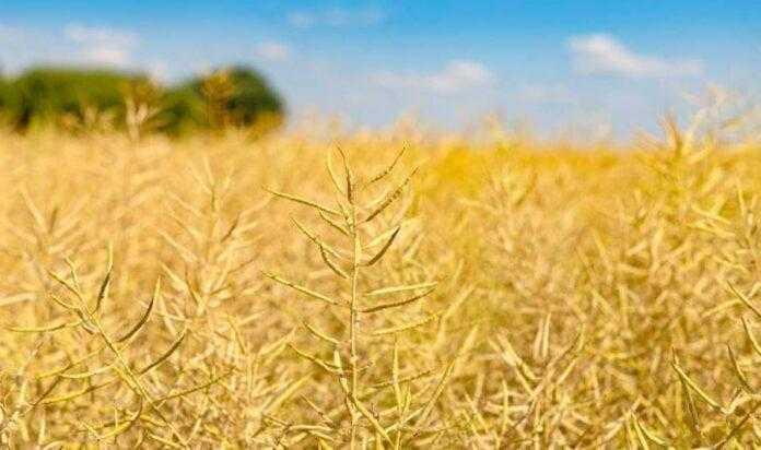 Чому цього року важливо провести десикацію посівів зернових культур і ріпака