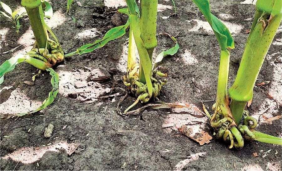 Чому в кукурудзи шаблевидні листки-2