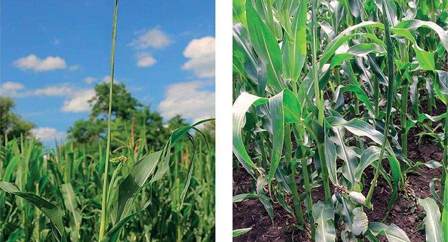 Чому в кукурудзи шаблевидні листки-3