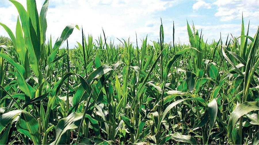 Чому в кукурудзи шаблевидні листки-4