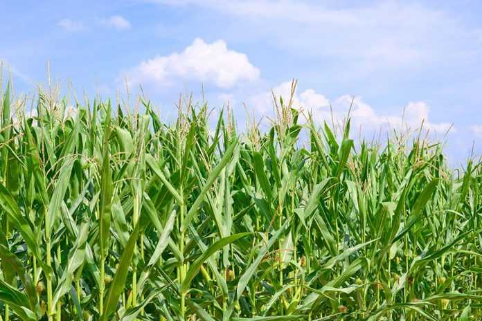 Чому в кукурудзи шаблевидні листки