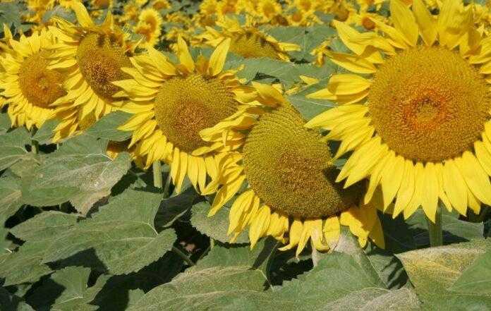 Експерти BASF визначили найнебезпечніші хвороби соняшника