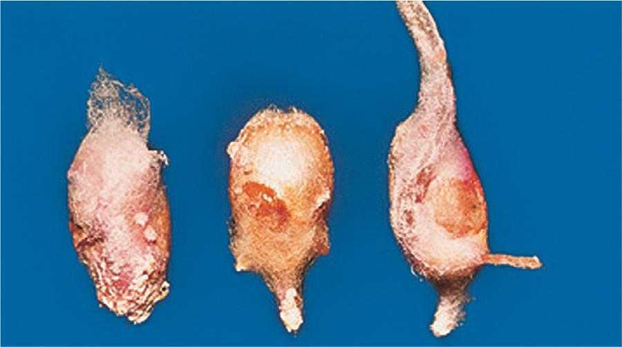 Fusarium culmorum ураження насіння озимої пшениці при проростанні