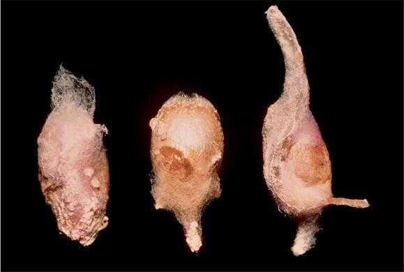 Fusarium spp.