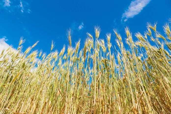Грибні хвороби колосу зернових культур