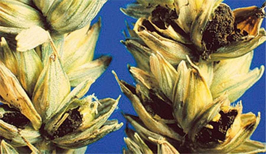 Колоски пшениці, уражені карликовою сажкою, загальнийвигляд