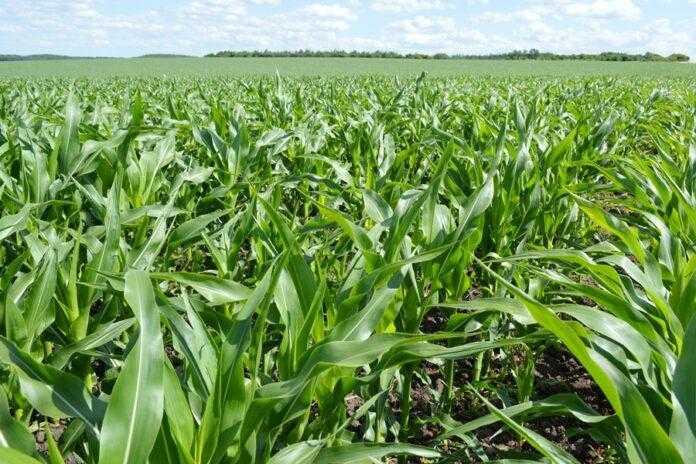 Контроль шкідливих організмів та секрети підживлення кукурудзи