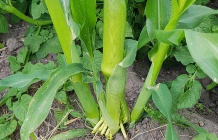 Неякісні гербіциди можуть спровокувати пасинкування кукурудзи