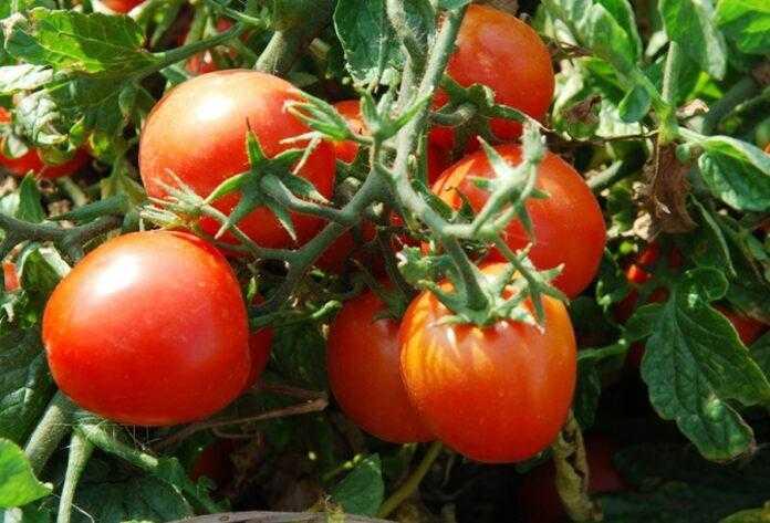 Обробка грунту грибними спорами надійно захистила томати від мінуючої мілі