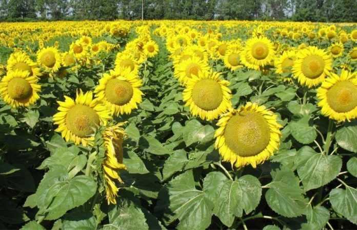 Особливості польської технології вирощування соняшнику