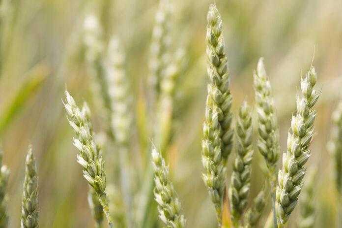Особливості вирощування сортів озимої пшениці в 2020 році