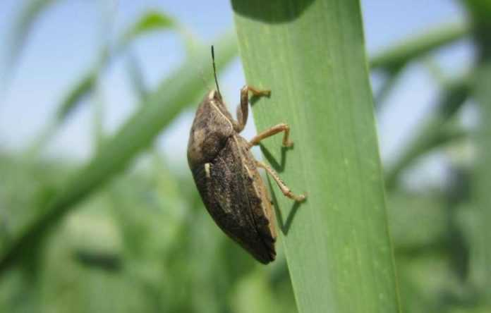 Посіви озимої пшениці атакує особливо небезпечний шкідник