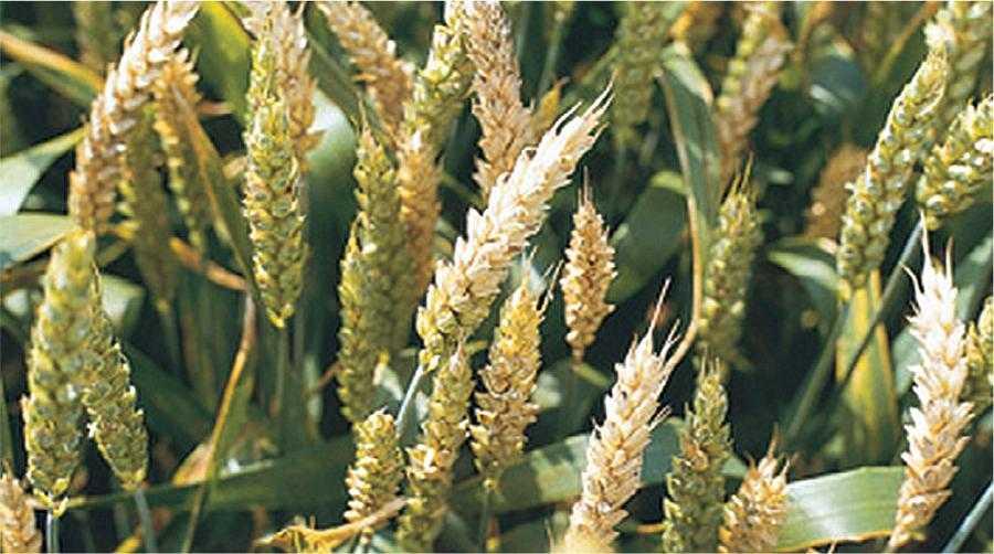 Посіви з ураженим Fusarium spp. колоссям