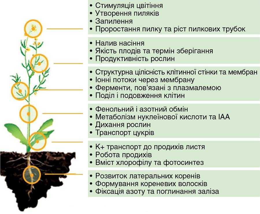 Рис.1. Функції бору в рослині