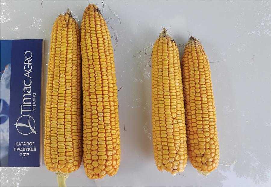 Рис.2. Результат використання азотно-сірчаного добрива Sulfammo 30 на кукурудзі
