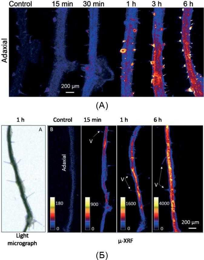 Рис. 2. Розподіл Zn у тканинах листку соняшнику (А) та сої (Б)