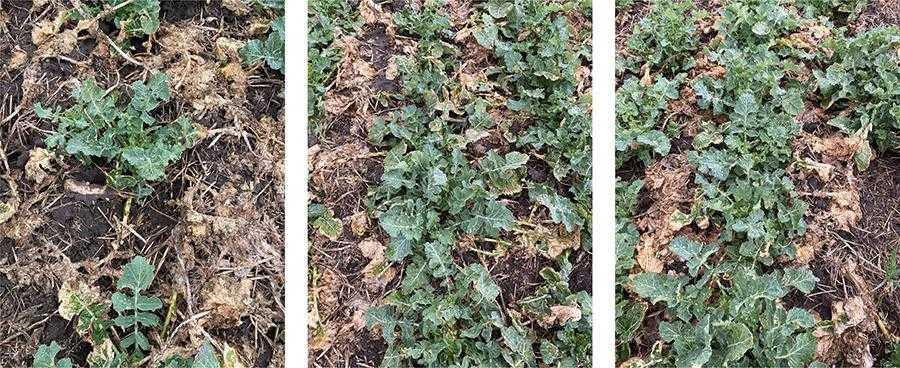 Рис. 3. Втрата листкової поверхні після перезимівлі. Зліва направо ДК Ексторм– до 35%, ДК Ексепшн– до 20%, ДКЕкстракт– до 15%