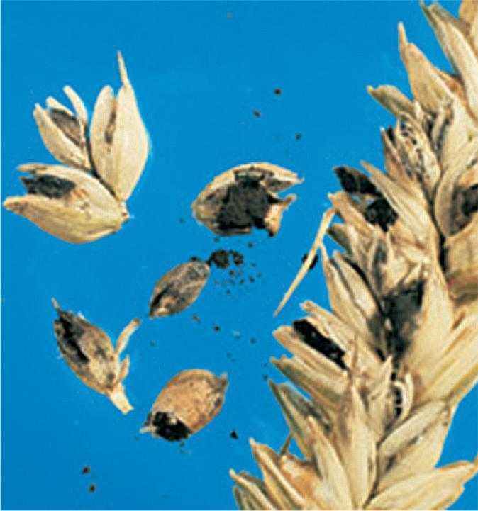 Сажкові мішечки, наповнені сажковими спорами, що утворюються замість зерен пшениці