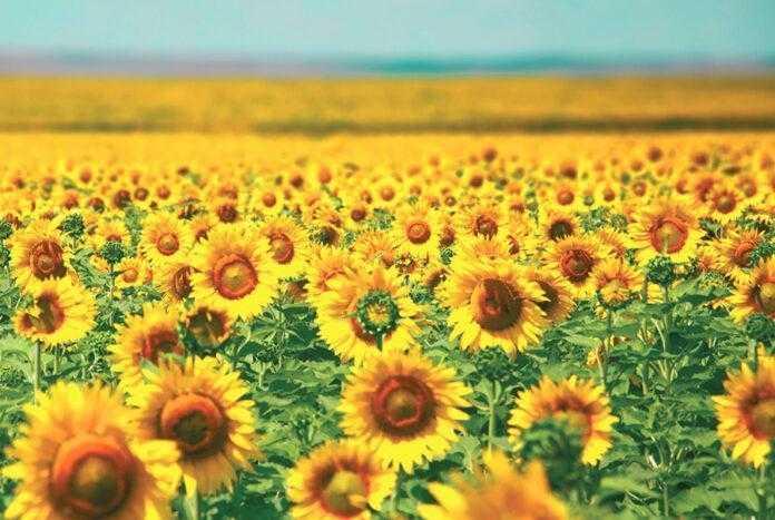 Секрети «сонячних» полів – успішний досвід вирощування соняшнику на Рівненщині