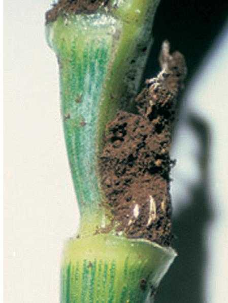 Спори летючої сажки на колосовому стрижні озимої пшениці
