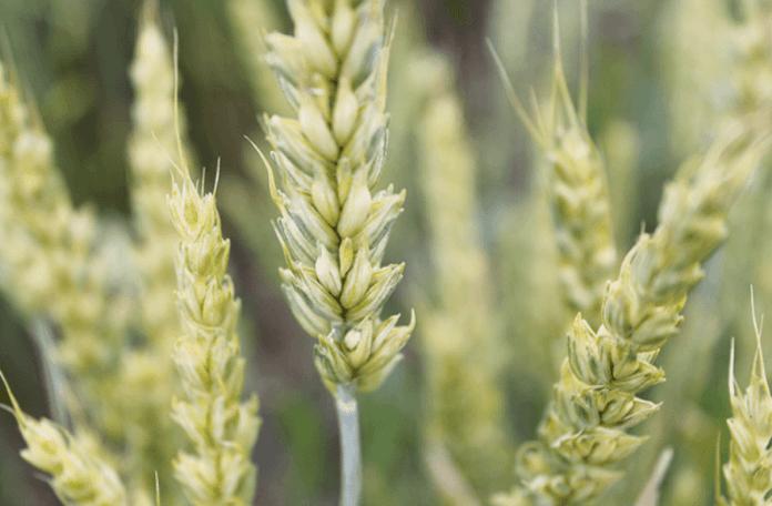 Своєчасний контроль фузаріозу колоса допоможе зберегти урожай