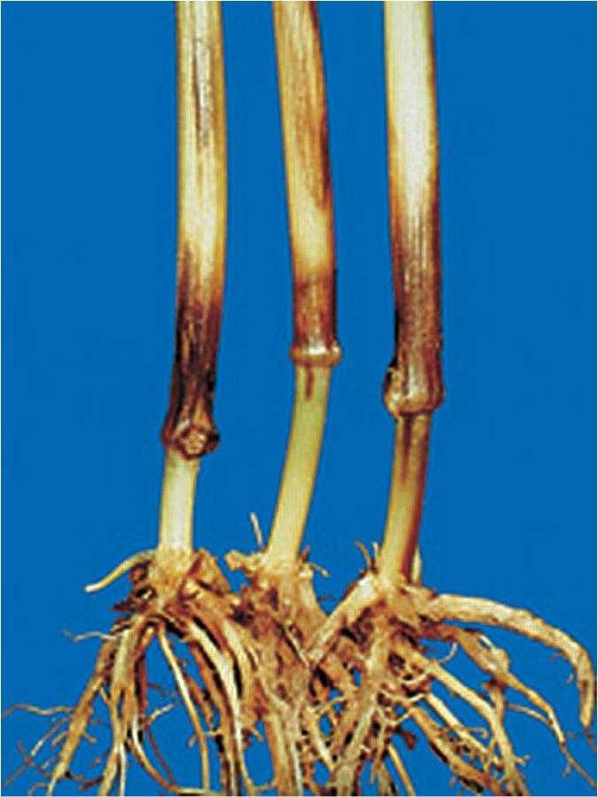 Симптоми фузаріозу в основі стебел плями коричневого кольору, що закінчуються вгорі смугами